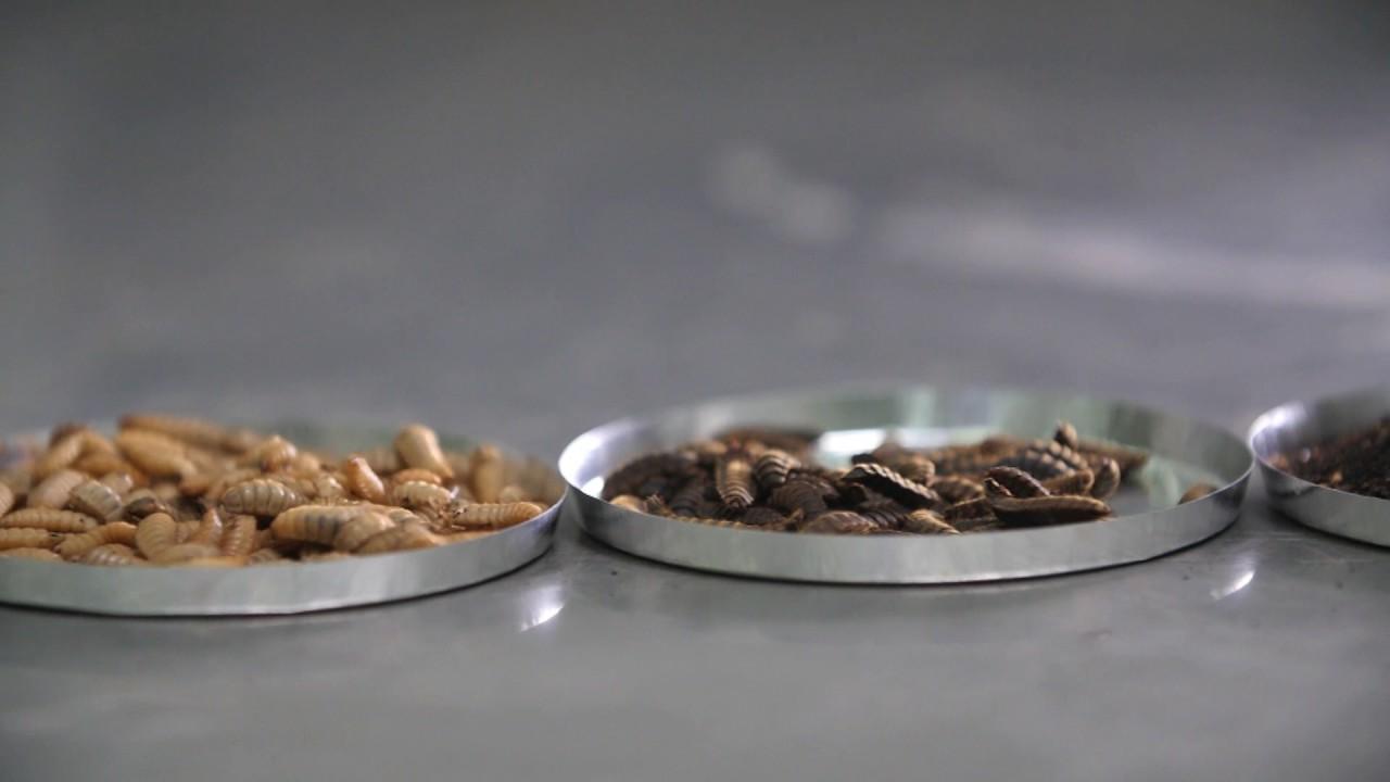 Cyclaprove : valorisation industrielle de biodéchets par l'insecte